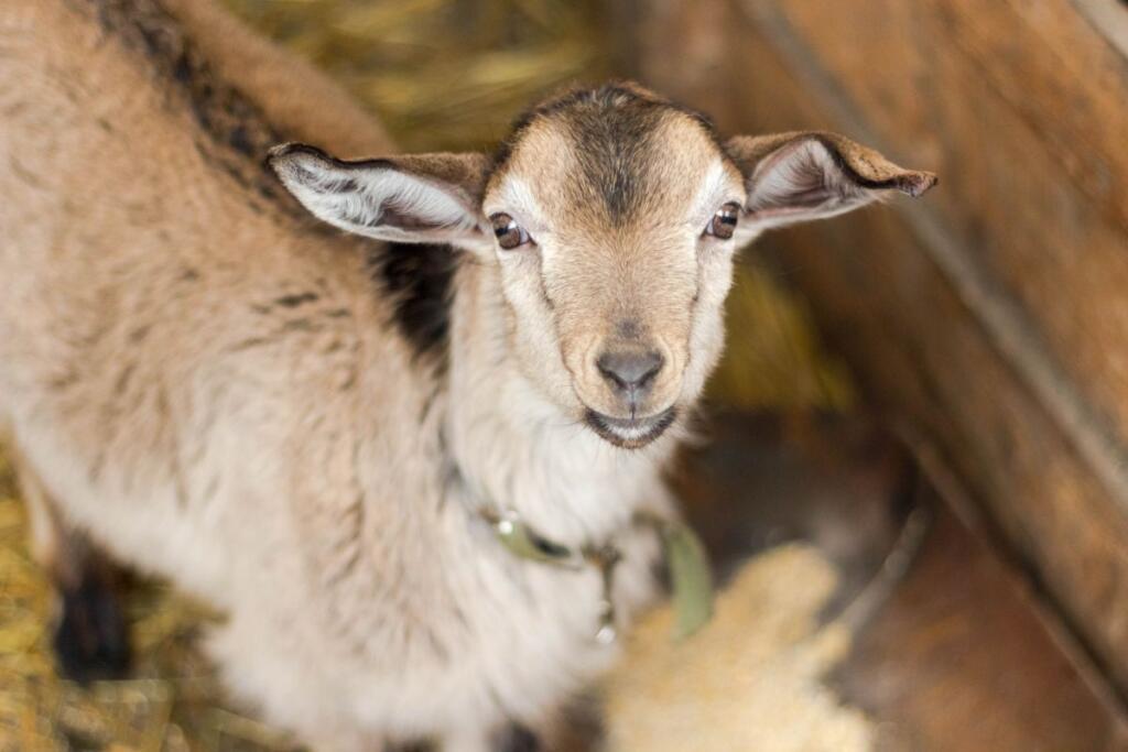 Il primo piano di una capra