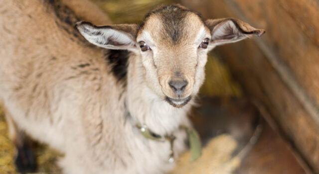 Le capre di Agitu sono di nuovo felici: a curarle ora c'è Bea