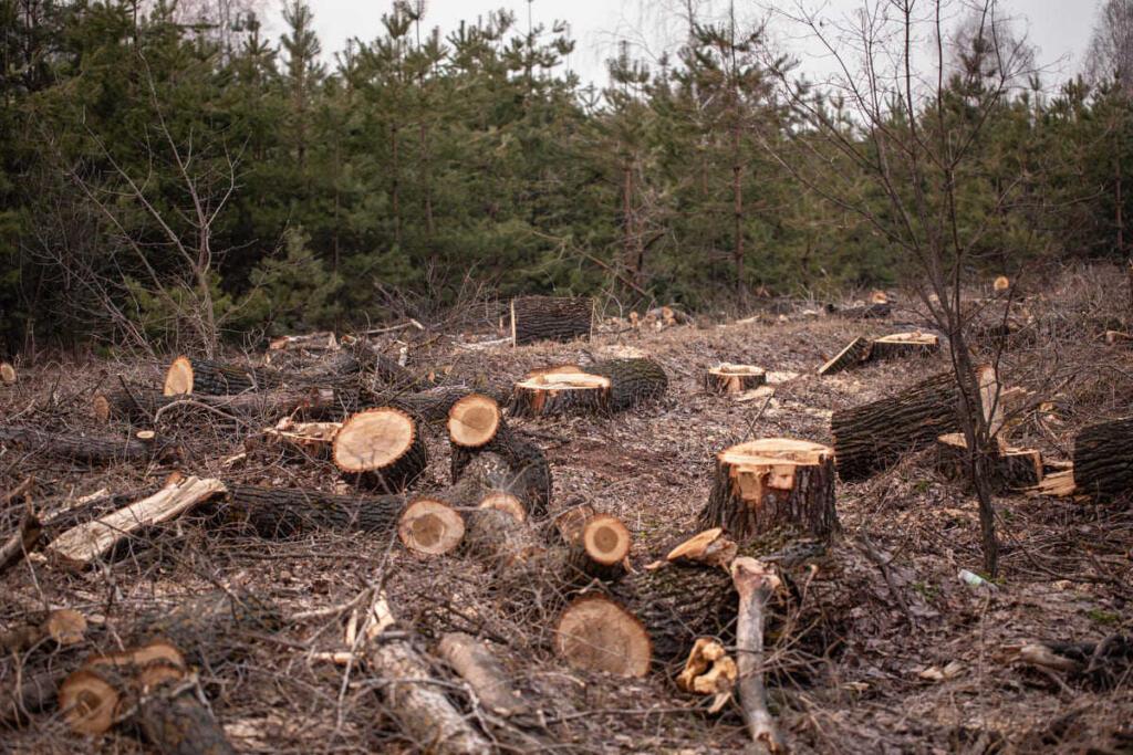 Disboscamento: tronchi tagliati
